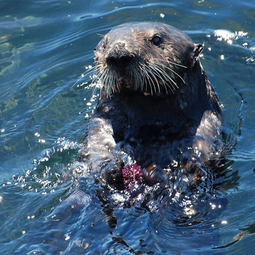 Sea otters spend most of their life in the water, mating and giving birth there