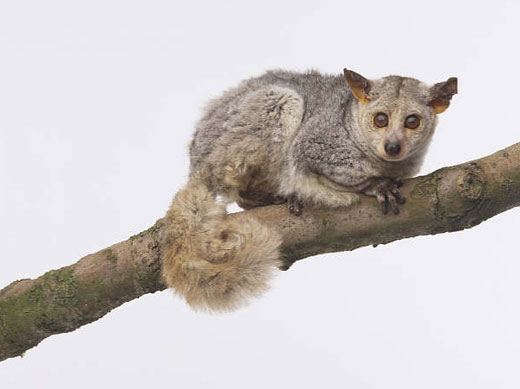 The Galago
