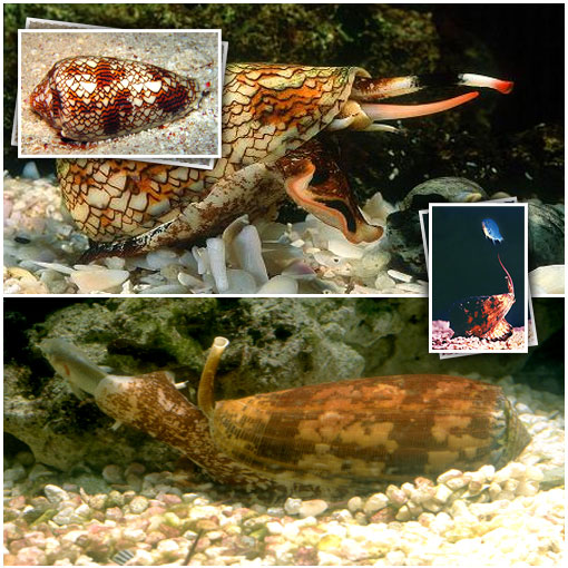 Next on our list of Silent and Deadly, the Cone Snail