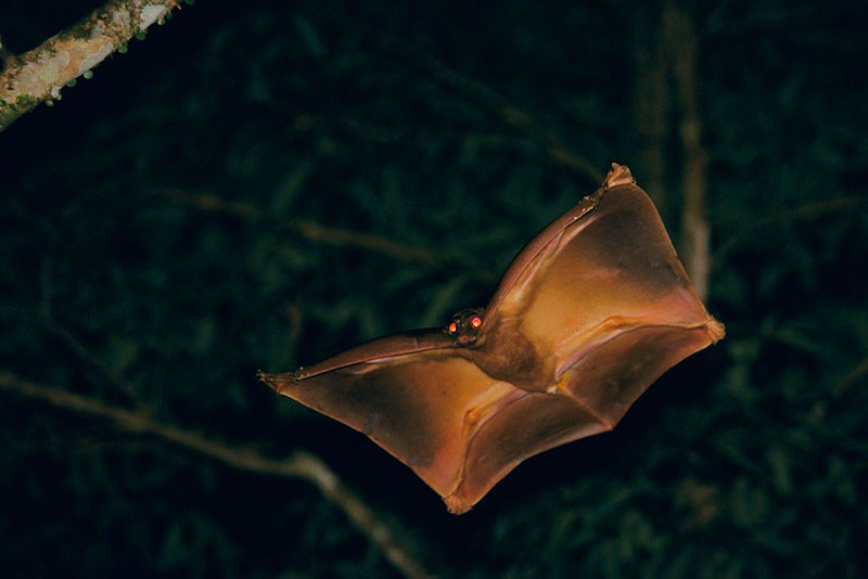 A Colugo gliding from one tree to another