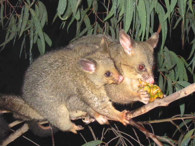 A Brushtail Possum female with her baby
