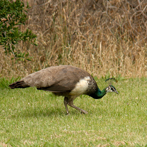 The female Peafowls are not as beautiful as the males