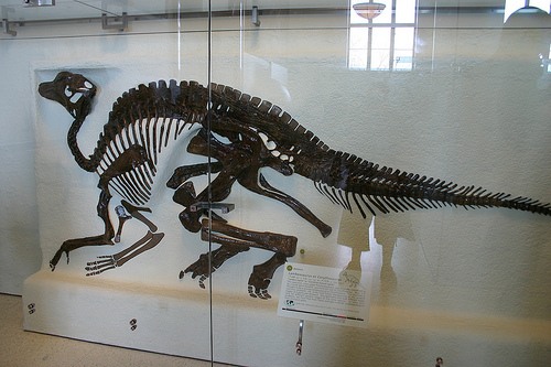 The skeleton of a Lambeosaurus