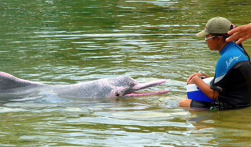 The Chinese White Dolphin is either white or pink as an adult