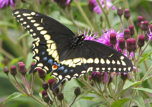 Papilio polyxenes e1299750398762 10 of the Worlds Most Beautiful Butterflies